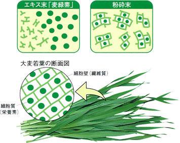 大麦若葉をギュッと搾った青汁なので、繊維がなく、吸収されやすいんです!